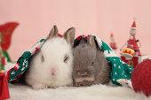 Mini rabbits
