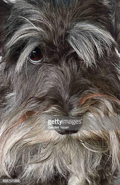 Mini Schnauzer Dog Closeup