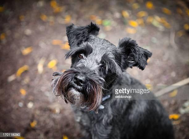 Mini Schnauzer Dog Portrait