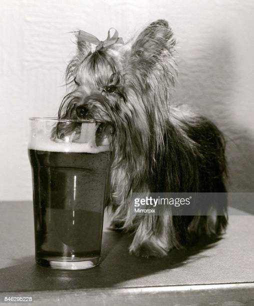 Mini the Yorkshire Terrier lapping up the beer in her her home her owner Betty from Cheshunt Herts says she can drink up to a third of a pint at any...