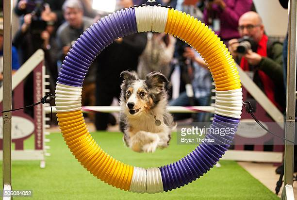 Miniature American Shepard performs agility drills following the announcement that the Westminster Dog Show would introduce seven new dog breeds into...