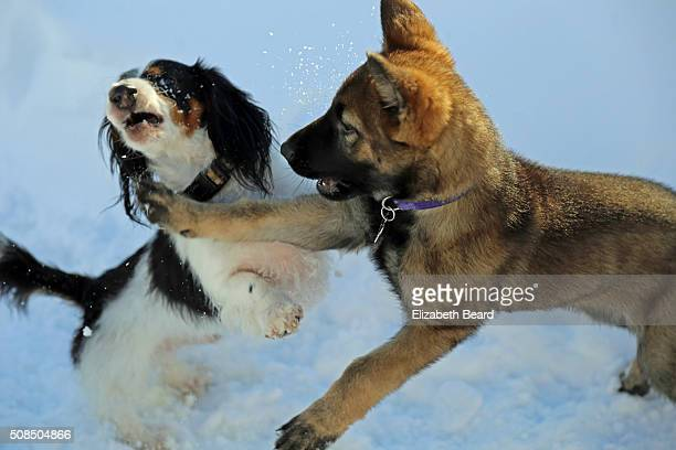 Miniature dachshund and German shepherd puppy play in snow