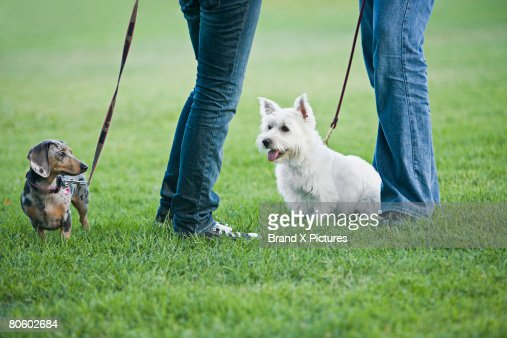 Miniature Dachshund and Westie with owners' legs : Stock Photo