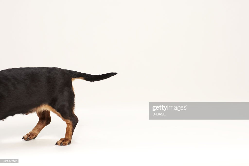 miniature dachshund, close up of rear end tail.