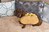 Miniature dachshund sitting on rug in hot dog costume with cushions behind