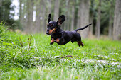 Black and tan Miniature Dachshund caught in mid air jumping over a log in the countryside with forest trees behind him, with his ears in the air.