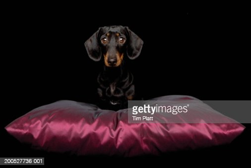 Miniature Dachshund on silk cushion in studio : Stock Photo