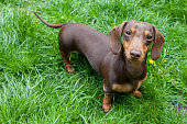 A Miniature Dachshund standing in long grass
