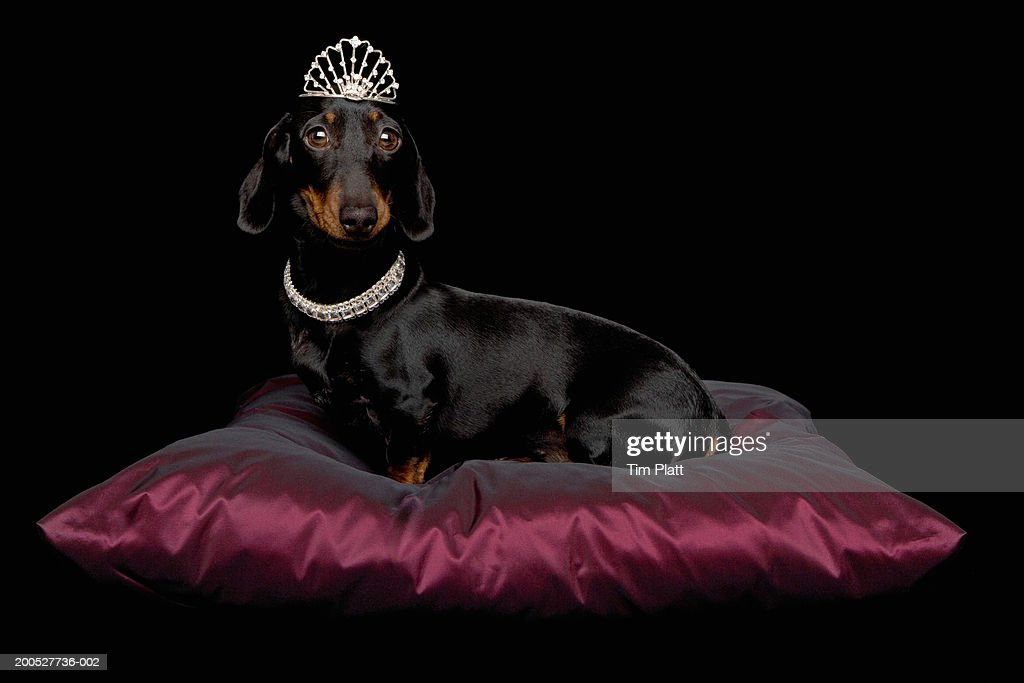 Miniature Dachshund wearing diamante collar and tiara on silk cushion in studio : Stock Photo