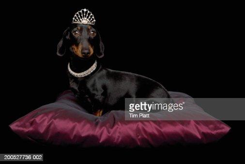 Miniature Dachshund wearing diamante collar and tiara on silk cushion in studio : Bildbanksbilder