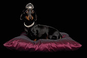 Miniature Dachshund wearing diamante collar and tiara on silk cushion in studio