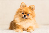 miniature dog of Pomeranian dog breed lies on the couch