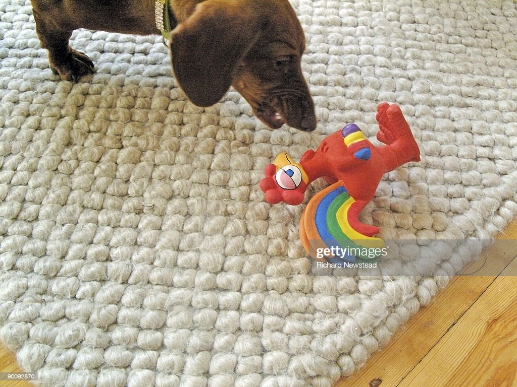 Miniature pet dachsund playing with toy : Stock Photo