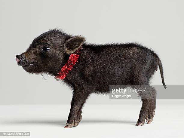 Miniature piglet with red tassel around neck, side view, studio shot, close up