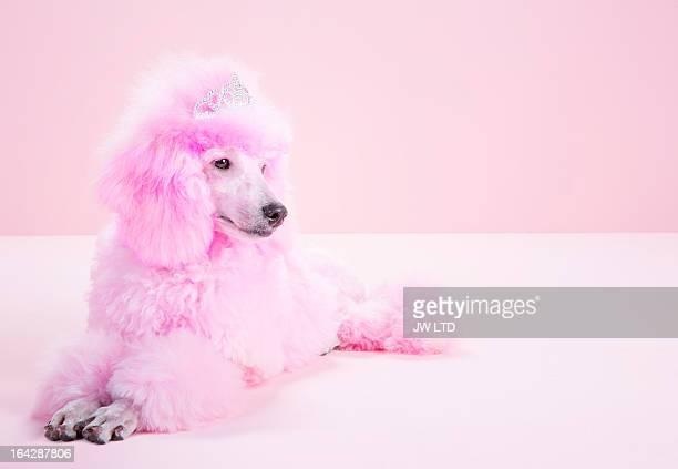 Miniature Pink poodle, pink poodle, Studio