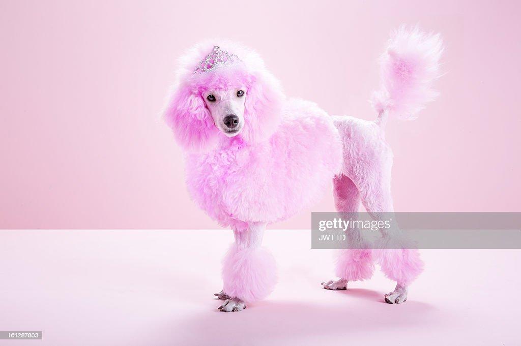 Miniature Pink poodle, pink poodle,studio
