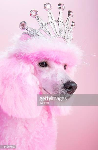 Miniature Pink poodle,pink poodle, wearing tiara