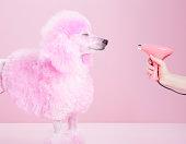 Miniature Pink poodle,poodle, pink pampered poodle