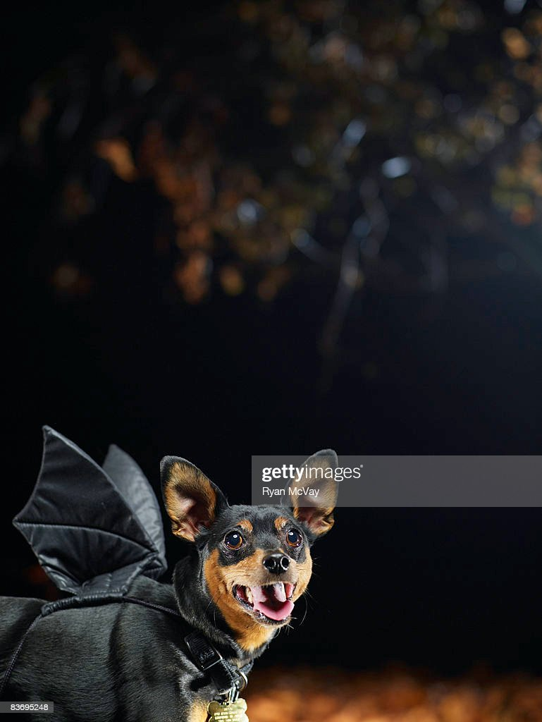 Miniature Pinscher in costume.