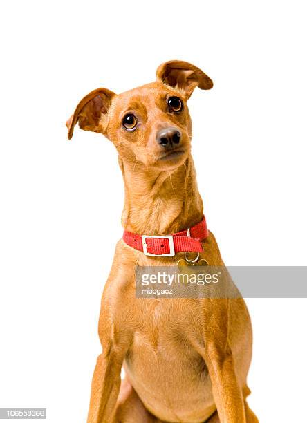 Miniature Pinscher Isolated on White