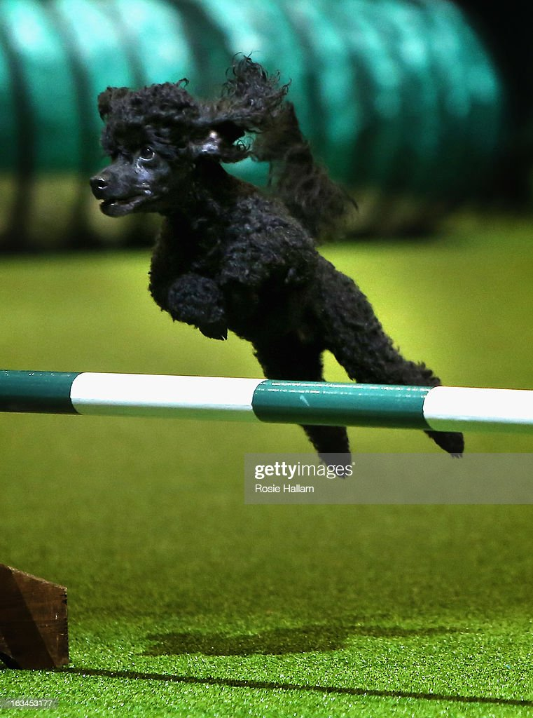 A miniature poodle makes it over a jump in the agility competition during the final day at Crufts Dog Show on March 10, 2013 in Birmingham, England. During this year's four-day competition over 22,000 dogs and their owners will vie for a variety of accolades but ultimately seeking the coveted 'Best In Show'.