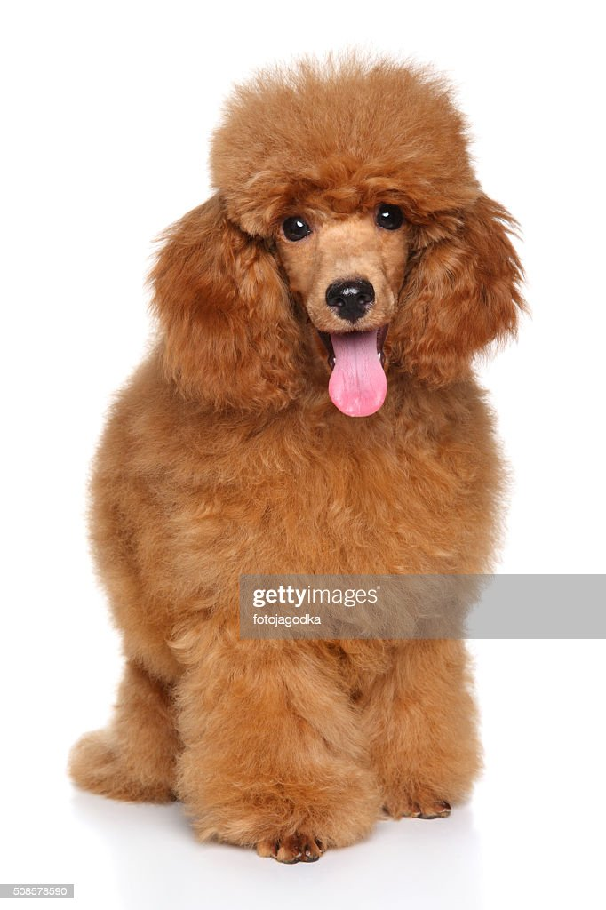 Miniature Poodle puppy : Stock Photo