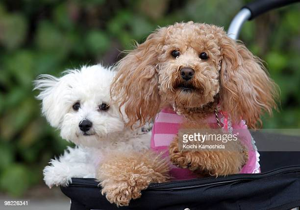 Miniature poodle sit in a cart during the Asian International Dog Show at Tokyo Big Sight on April 3 2010 in Tokyo Japan