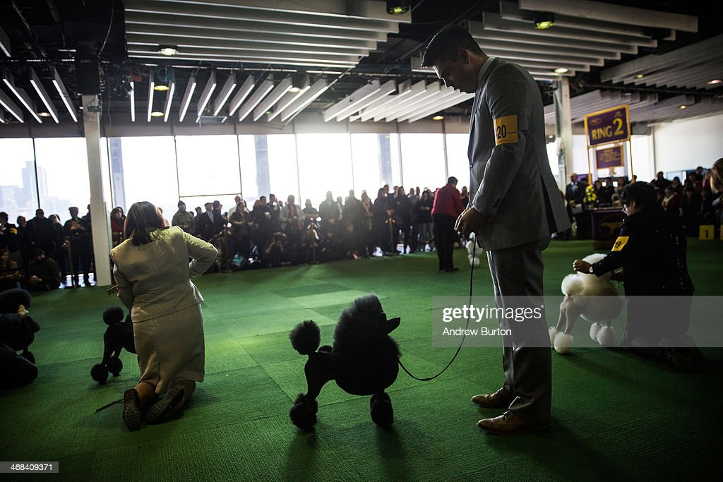 Miniature poodles compete in the 138th annual Westminster Dog Show at the Piers 92/94 on February 10, 2014 in New York City. The annual dog show showcases the best dogs from around world for the next two days in New York.