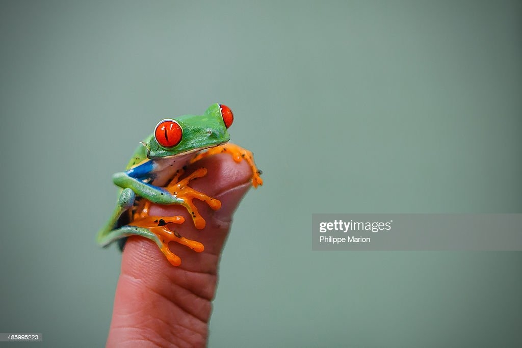 Close up of a miniature red-eyed tree frog perched on the tip of a human thumb - Costa Rica