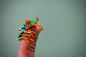Miniature red-eyed tree frog - Costa Rica