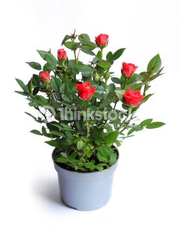 miniature dans un pot de fleur rose photo thinkstock. Black Bedroom Furniture Sets. Home Design Ideas