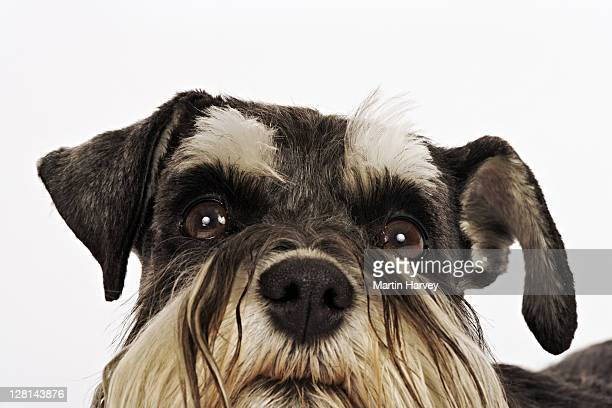 Miniature Schnauzer. Close-up of face. German breed of dog, which name derived from the German word for muzzle. Studio shot against white background. Owned by Louise Thompson of South Africa.