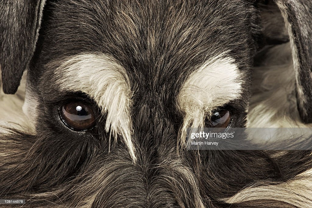 Miniature Schnauzer. Close-up of face. German breed of dog, which name derived from the German word for muzzle. Studio shot against white background. Owned by Louise Thompson of South Africa. : Stock Photo