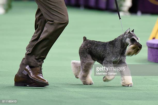 A Miniature Schnauzer competes in the Terrier Group during the second day of competition at the 140th Annual Westminster Kennel Club Dog Show at...