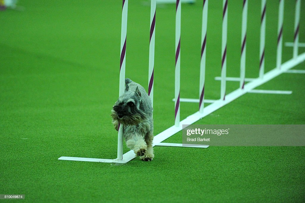 A Miniature Schnauzer dog runs the agility course at the 7th Annual AKC Meet The Breeds at Pier 92 on February 13, 2016 in New York City.