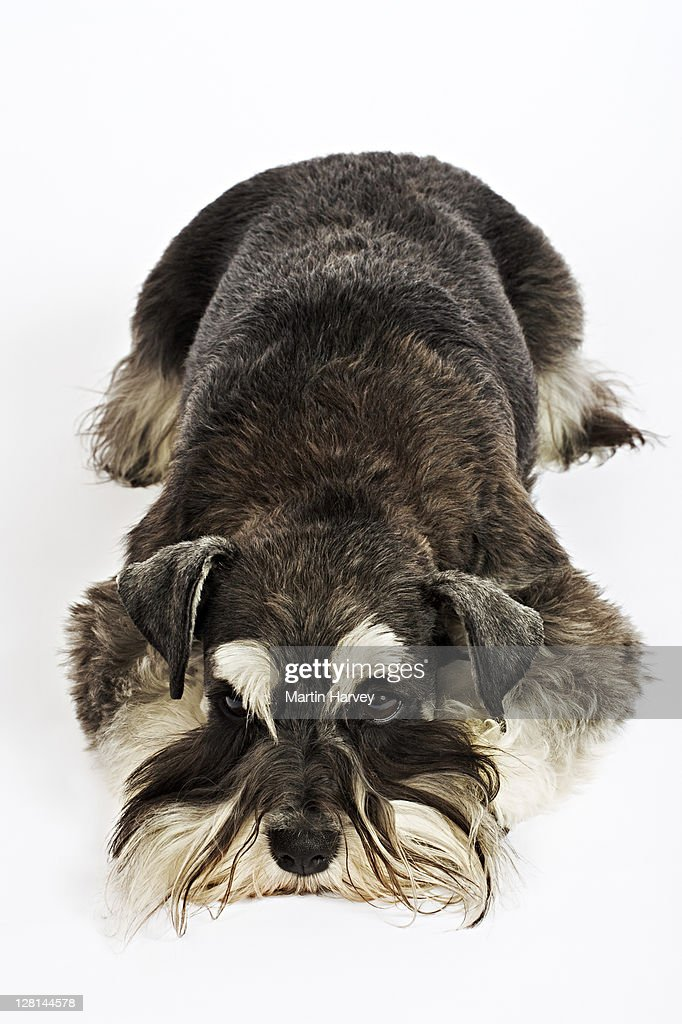 Miniature Schnauzer. German breed of dog, which name derived from the German word for muzzle. Owned by Louise Thompson of South Africa. : Stock Photo