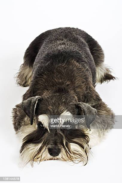 Miniature Schnauzer. German breed of dog, which name derived from the German word for muzzle. Owned by Louise Thompson of South Africa.