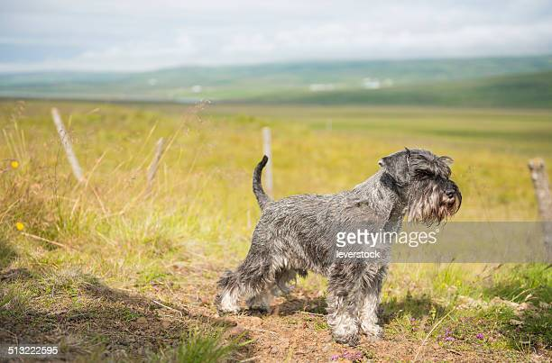 Miniature Schnauzer looking in a field