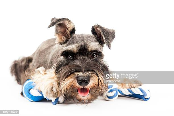 Miniature Schnauzer on white
