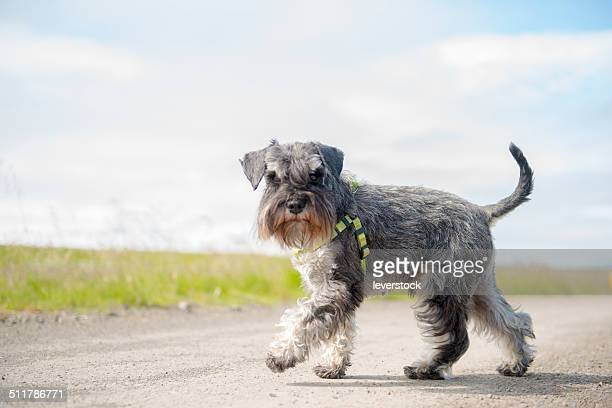 Miniature schnauzer out for a stroll