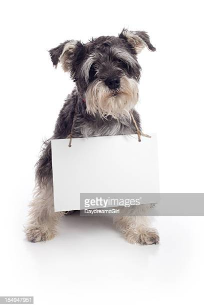 Miniature Schnauzer Pet Dog Holding Sign on White Background