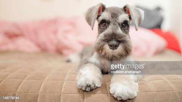 Miniature schnauzer sitting on a bed