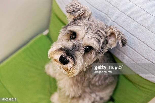 Miniature Schnauzer sitting on green sofa