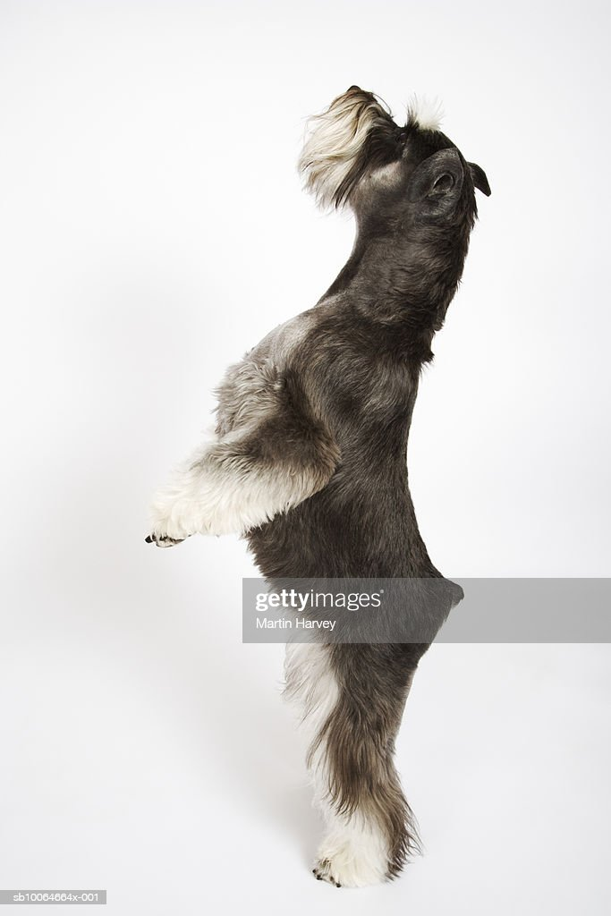 Miniature Schnauzer standing on hind legs, studio shot, side view : Stock Photo