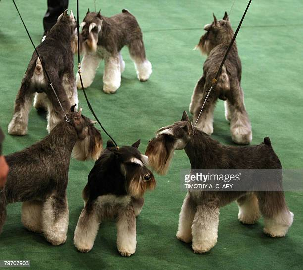 Miniature Schnauzer's wait in the ring during the first day at the 132nd Westminster Kennel Club Annual Dog Show at Madison Square Garden on February...
