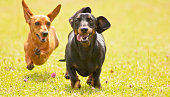 Two Miniature Smooth Haired Dachshunds racing along through an open field of grass.