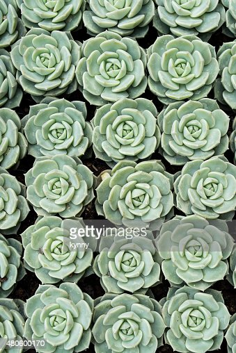 Miniature succulent plants : Stock Photo