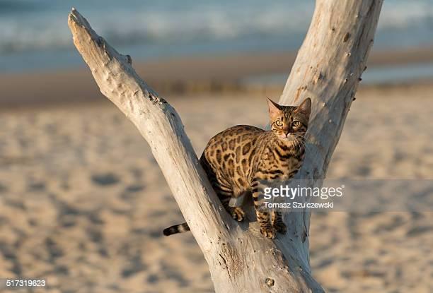 Mini-leopard