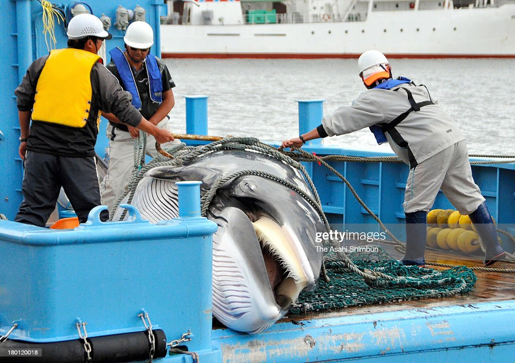 A Mink Whale is unloaded during the first day of the research whaling at Kushiro Port on September 6, 2013 in Kushiro, Hokkaido, Japan. The research whaling is either until November 1 or catching 60 whales in total, by the research institutes approved by the government based on an international treaty.