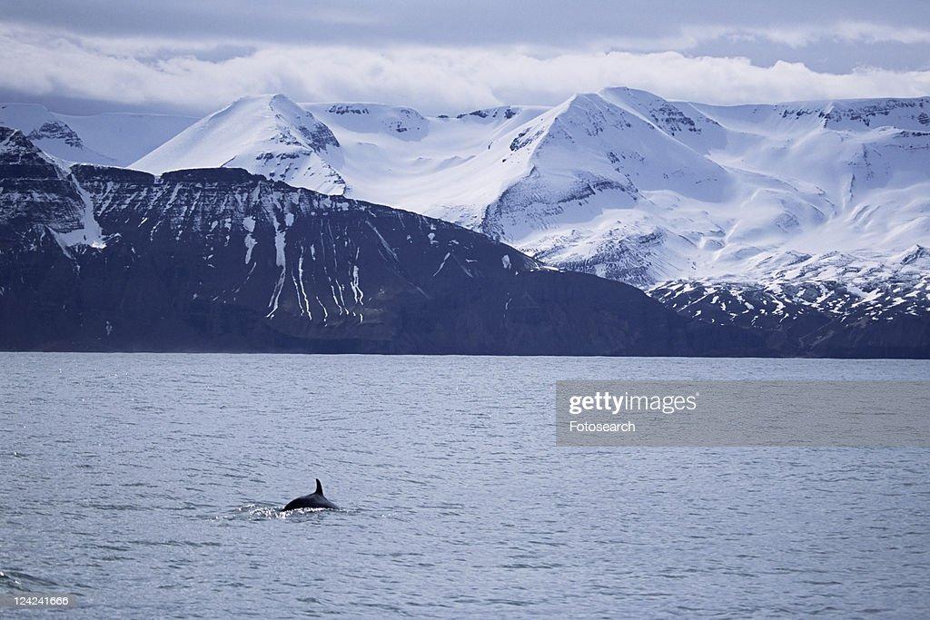 Minke whale (Balaenoptera acutorostrata) surfacing in fjord with snow capped mountains behind. Husavik, Iceland.